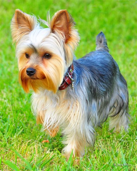 facts about yorkie puppies facts about teddy dogs terrier terrier and terrier dogs