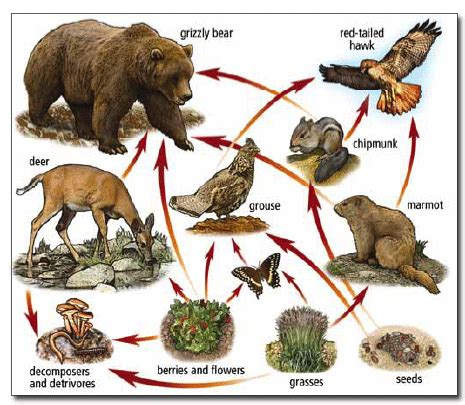 grizzly food chain diagram food webs