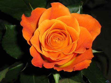 imagenes flores naranjas sentimiento en poes 205 a rosa naranja