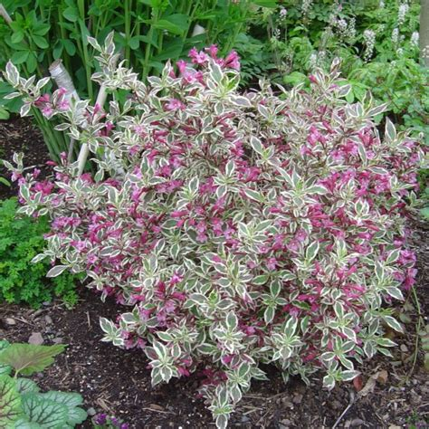Home Decor With Plants by Weigela Florida My Monet Gasper Landscape Design