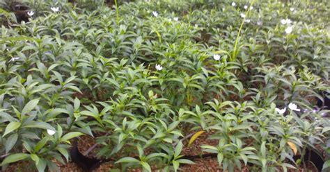 Bibit Melati Mini pohon remboja mini tanaman jenis melati jual tanaman hias