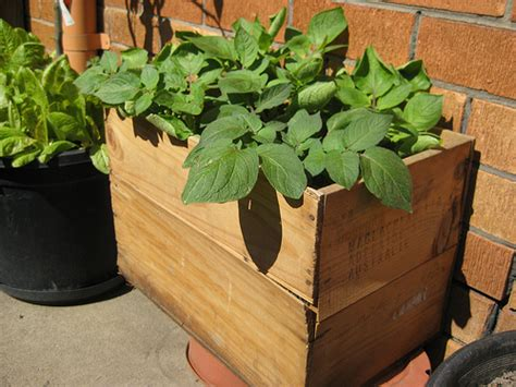 container potato gardening photo