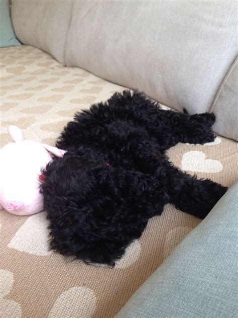 poodle for sale poodle puppy for sale sudbury suffolk pets4homes