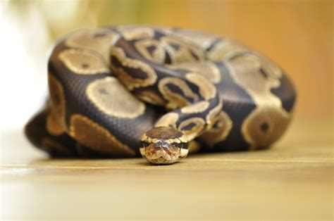 ball pythons arent   beginnersheres