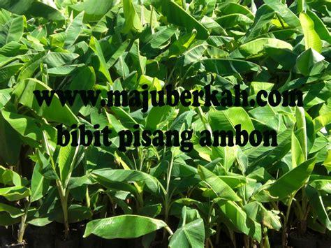 Bibit Pohon Pisang bibit pisang ambon bibit tanaman pisang ambon jual bibit tanaman pisang ambon bibit pisang ambon