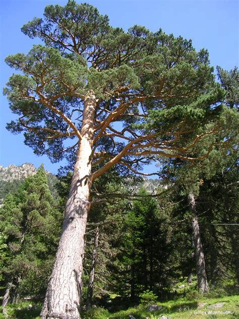 pin by zeynep orcan on k sa sa 231 modelleri pinterest sapin blanc pin pont d espagne cauterets hautes