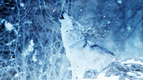 wallpaper wolf howling winter snowfall hd animals
