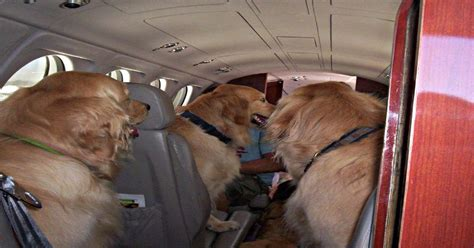 comfort dogs on airplanes esas and the air carrier access act certapet