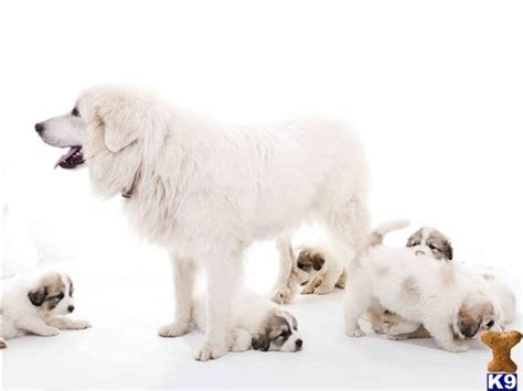 white bernese mountain white bernese mountain i want a puppy for now pictures w