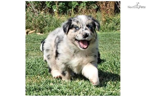 german shepherd puppies for sale in albuquerque australian shepherd puppies for sale there are 4 females and 1 breeds picture