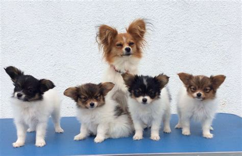 papillon puppies for sale stunning opportunity papillon puppies belfast county antrim pets4homes