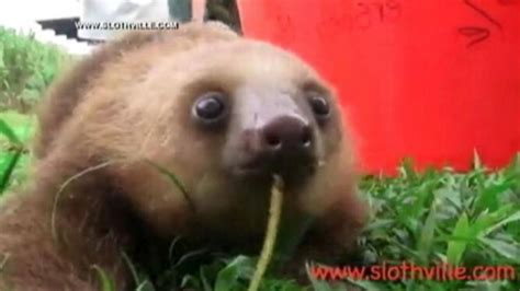 the gallery for gt sloths as pets