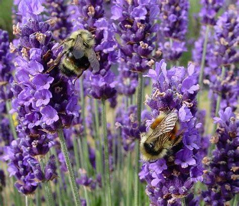Dijamin Benih Bunga Lavender benih bunga lavender sang tanaman anti nyamuk siapa mau anjrah