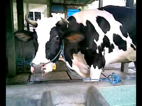 Bibit Sapi Jateng ternak sapi lepas bebas tanpa kandang doovi