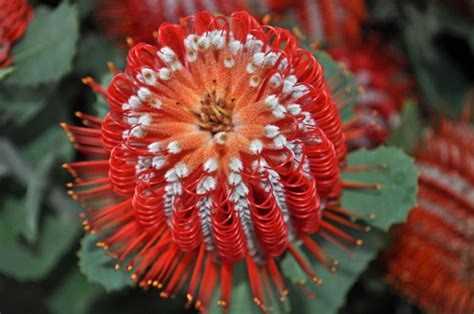 unusual flowers red banksia hookeriana flower flowers photo 30889857