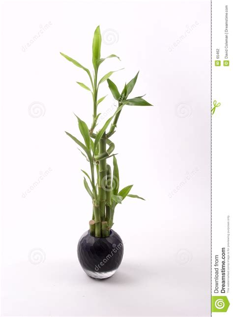 bambu in vaso bambu no vaso preto foto de stock imagem de vaso planta
