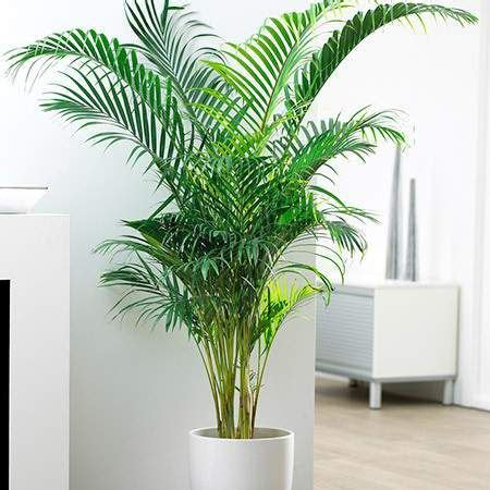 palms throughout the world areca palm tree indoor palms low lights and palm