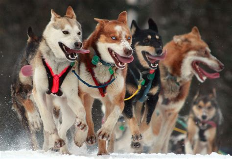 race in alaska iditarod trail sled race places to see in alaska