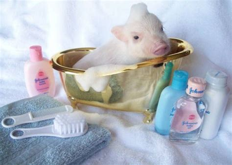 pig in bathtub pet in tea cups super sweet incredibly tiny teacup