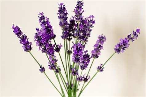 gallery for gt sprig of lavender clipart