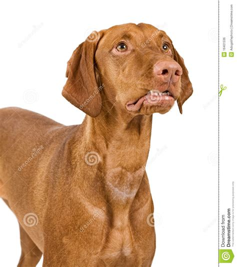 puppy curling vizsla up with lip curled royalty free stock image image 16401536