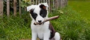 4 week old australian shepherd puppy tierisch gute angebote mein haustier de