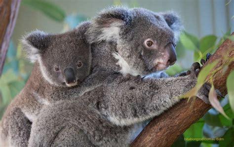 female koala pouch april 2017 koala name our joey competition billabong zoo