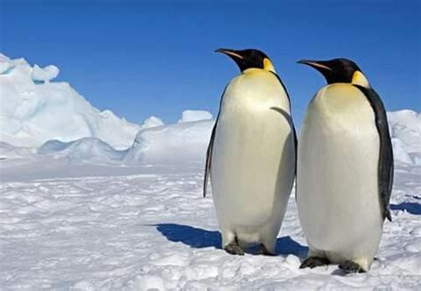 Sun Future Pinguin emperor penguins courtesy of rick morales antarctica