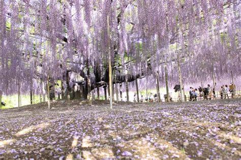 wisteria tunnels tokyo 5 flower festivals around tokyo tokyo cheapo
