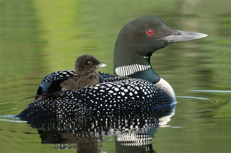 can conservationists bring the common loon back to