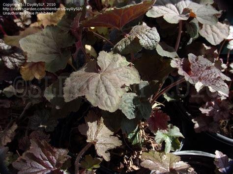 plantfiles pictures coral bells alumroot coralbells
