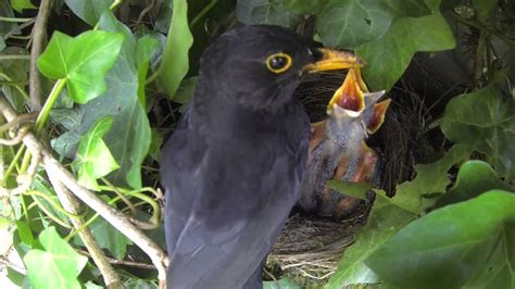 blackbirds nesting and feeding chicks youtube