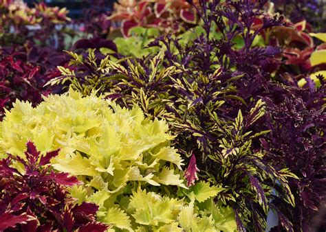 sun foliage plants sun coleus offers summer without much work