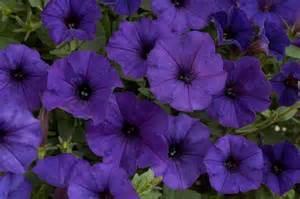 Flowers Cut - danziger petunia royal blue