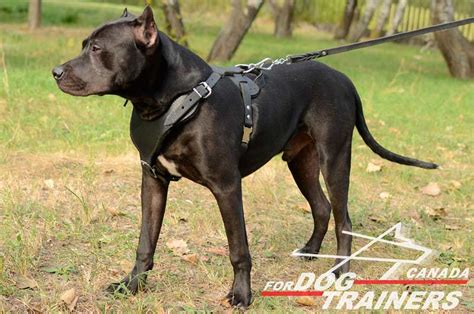 pitbull harness buy heavy duty leather harness agitation large dogs