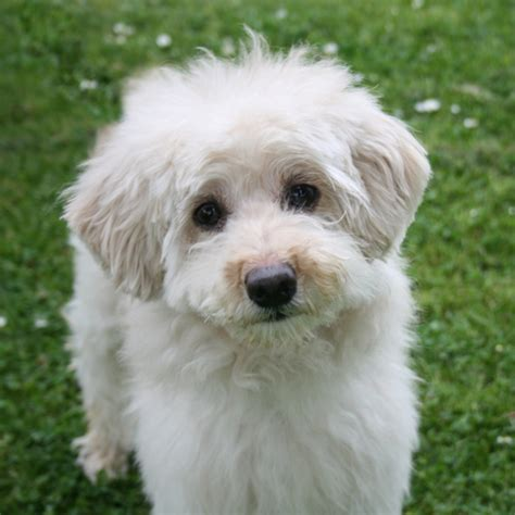 coton de tulear puppies for adoption 1000 images about my next puppy on me up and search
