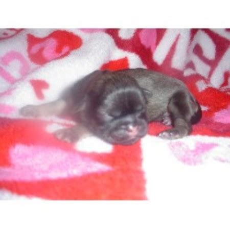 shih tzu puppies for sale mobile al aperfectshihtzu shih tzu breeder in mobile alabama 36604 freedoglistings id 9875