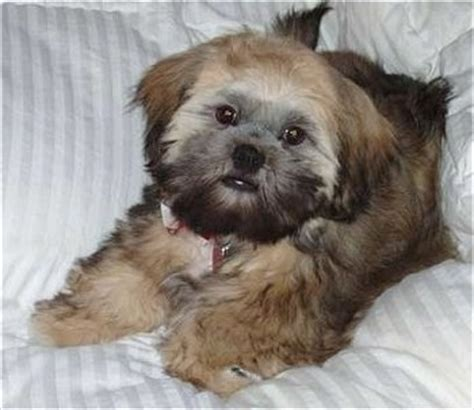 shih tzu apso mix shih apso breed information and pictures