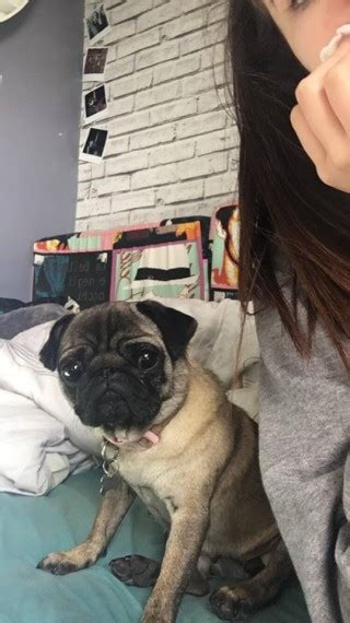pugs for sale wigan kc reg pug for sale wigan greater manchester pets4homes