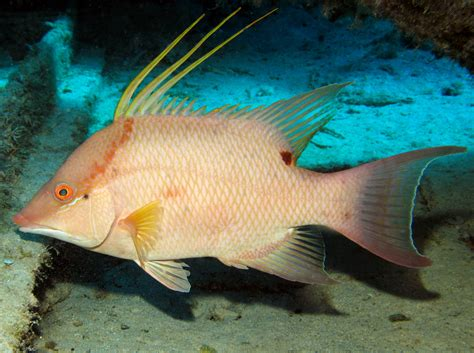 hogfish images hogfish the of animals
