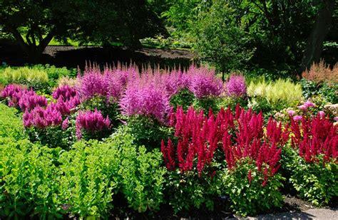 Border Tas Pink Unyu gardensonline astilbe x arendsii hybrids