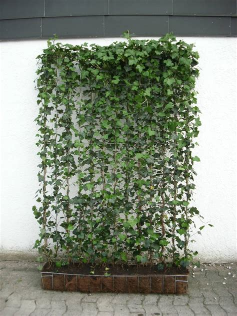 ist efeu winterhart fertighecken mit efeu baumschule pflanzen gro 223 e