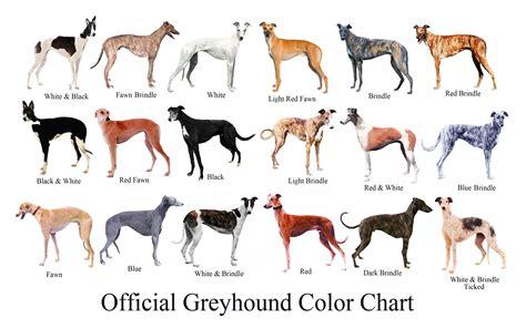 greyhound colors greyhound greyhound color chart in memory of