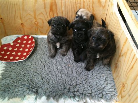 pug crossed with poodle poodle cross pug puppies hereford herefordshire pets4homes