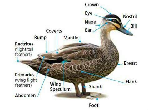 duck diagram duck parts raising ducks raising