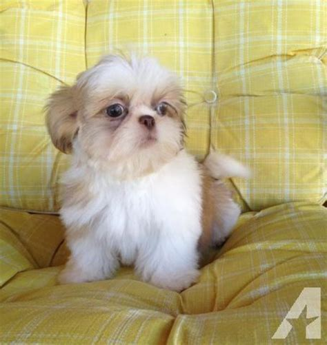 all white shih tzu puppies for sale cutest white shih tzu puppy for sale in cotati cuties