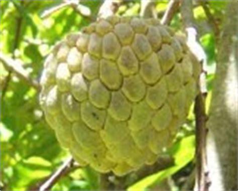 6 Macam Obat Cacingan tanaman herbal srikaya annona squamosa l tanaman obat