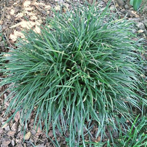controlling monkey grass how to manage and get rid of liriope