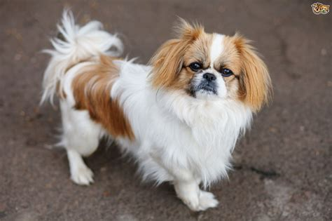 pekingese puppy pekingese breed information buying advice photos and facts pets4homes
