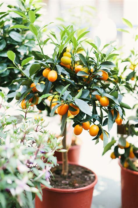 patio orange tree orange tree future garden candidate gardening